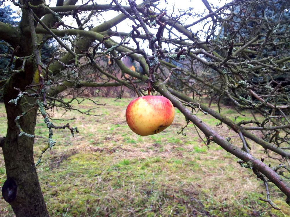 Der letzte Apfel, an den Ästen sieht man, wie verwachsen der gesamte Baum war.