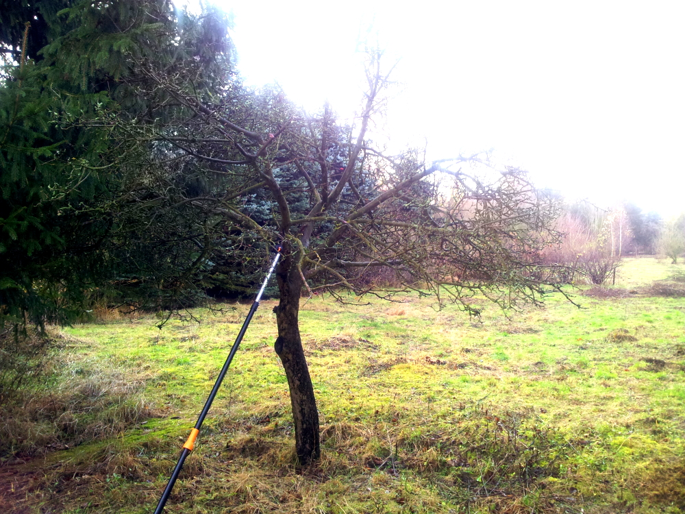 Unser Apfelbaum vor dem Schnitt, extrem verwachsen und die Äste mit Pilzen überzogen