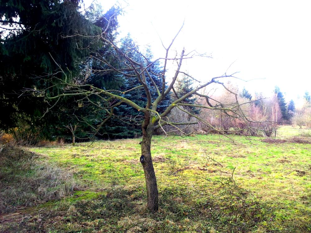 Der Apfelbaum nach meinem Radikalschnitt - ich denke, er wird sich gut erholen