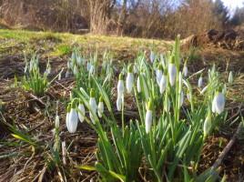 Die ersten Schneeglöckchen dieses Frühlings