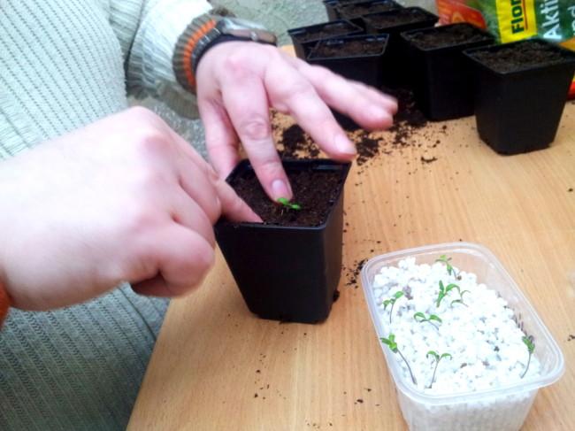 Die Tomaten können ruhig bis zu den Keimblättern in den Boden gesetzt werden. Wichtig ist, die Erde gut anzudrücken, damit keine Hohlräume an den Wurzeln entstehen.