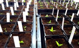 Die vier Pflänzchen vorn rechts sind die Paprikapflanzen