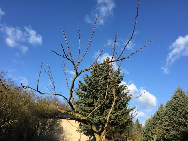 Hier erkennt man sehr gut die unmögliche Form des Baumes. Diese resultiert aus 10 Jahren fehlender Pflege. Ich fand es aber zu Schade, den Baum dafür komplett zu rsieren und auf einen Neuaustrieb zu warten. Vielleicht kann ich durch regelmäßigen Schnitt da noch was retten in den nächsten Jahren.