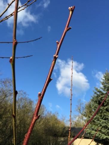 Pfirsichbaum Fruchttrieb