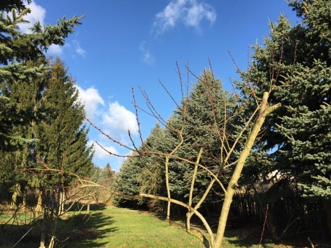 Super Wetter am nächsten Morgen, da macht der Rundgang im Garten Spaß. Hier einer der Pfirsichbäume, der im letzten Jahr nur 1 Pfirsiche hervorbrachte. Ich bin mal gespannt, wie das in diesem Jahr aussieht.